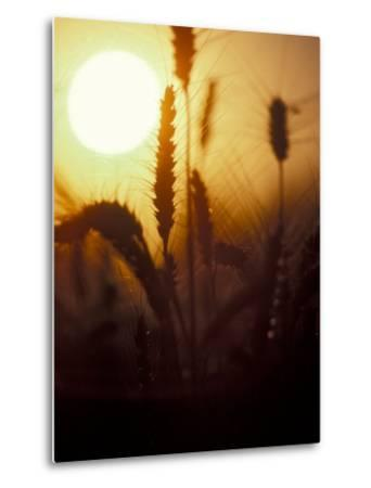 Silhouettes of Wheat Plants at Sunset-Janis Miglavs-Metal Print