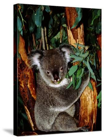 Koala on Eucalyptus, Featherdale Wildlife Park, Sydney, Australia-Cindy Miller Hopkins-Stretched Canvas Print