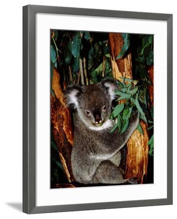 Koala on Eucalyptus, Featherdale Wildlife Park, Sydney, Australia-Cindy Miller Hopkins-Framed Photographic Print