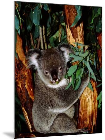Koala on Eucalyptus, Featherdale Wildlife Park, Sydney, Australia-Cindy Miller Hopkins-Mounted Photographic Print