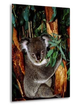 Koala on Eucalyptus, Featherdale Wildlife Park, Sydney, Australia-Cindy Miller Hopkins-Metal Print