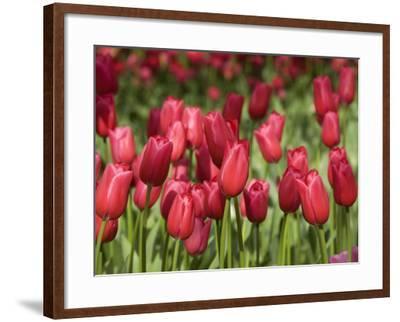 Keukenhof Gardens, Lisse, Netherlands-Cindy Miller Hopkins-Framed Photographic Print