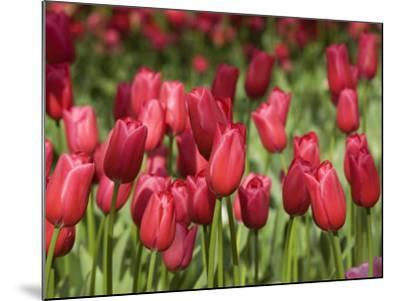 Keukenhof Gardens, Lisse, Netherlands-Cindy Miller Hopkins-Mounted Photographic Print