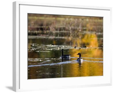 Canada Geese, Ewell Reservation, Rowley, Massachusetts USA-Jerry & Marcy Monkman-Framed Photographic Print