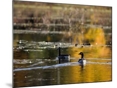 Canada Geese, Ewell Reservation, Rowley, Massachusetts USA-Jerry & Marcy Monkman-Mounted Photographic Print