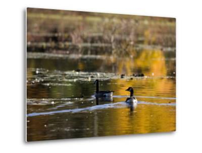 Canada Geese, Ewell Reservation, Rowley, Massachusetts USA-Jerry & Marcy Monkman-Metal Print