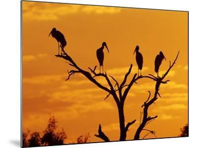 Wood Stork, Lake Corpus Christi, Texas, USA-Rolf Nussbaumer-Mounted Photographic Print