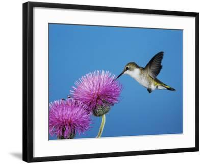 Ruby-Throated Hummingbird, Welder Wildlife Refuge, Sinton, Texas, USA-Rolf Nussbaumer-Framed Photographic Print