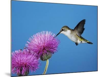 Ruby-Throated Hummingbird, Welder Wildlife Refuge, Sinton, Texas, USA-Rolf Nussbaumer-Mounted Photographic Print