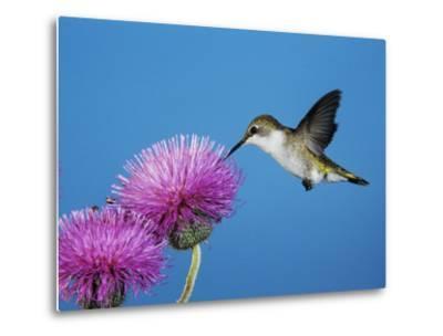 Ruby-Throated Hummingbird, Welder Wildlife Refuge, Sinton, Texas, USA-Rolf Nussbaumer-Metal Print