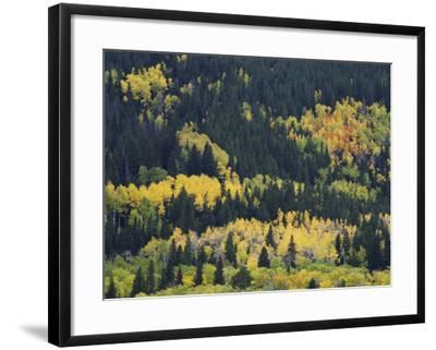 Aspen Trees, Endovalley, Rocky Mountain National Park, Colorado, USA-Rolf Nussbaumer-Framed Photographic Print