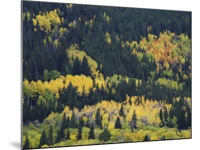 Aspen Trees, Endovalley, Rocky Mountain National Park, Colorado, USA-Rolf Nussbaumer-Mounted Photographic Print