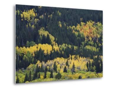 Aspen Trees, Endovalley, Rocky Mountain National Park, Colorado, USA-Rolf Nussbaumer-Metal Print