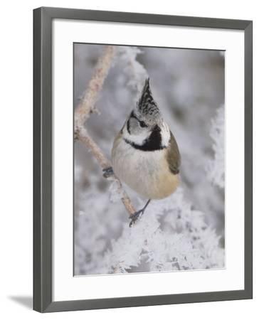 Crested Tit, Lenzerheide, Switzerland-Rolf Nussbaumer-Framed Photographic Print