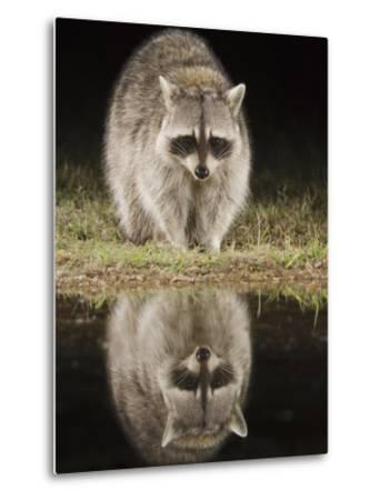 Northern Raccoon, Uvalde County, Hill Country, Texas, USA-Rolf Nussbaumer-Metal Print