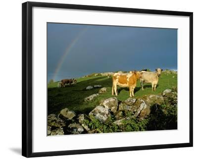 Cows and Rock Wall, Ireland-Marilyn Parver-Framed Photographic Print