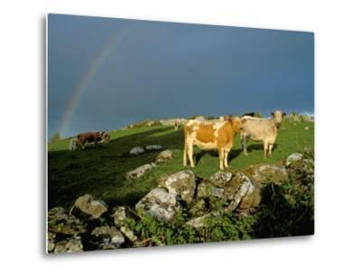 Cows and Rock Wall, Ireland-Marilyn Parver-Metal Print