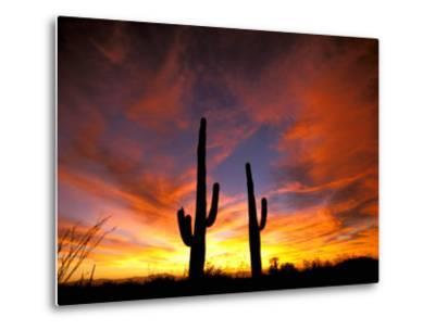 Saguaro Cactus at Sunset, Sonoran Desert, Arizona, USA-Marilyn Parver-Metal Print