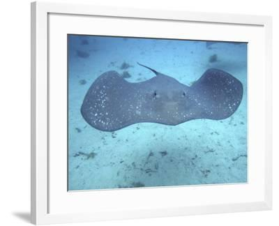 Stingray, Bora Bora, French Polynesia-Douglas Peebles-Framed Photographic Print