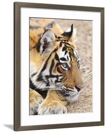 Portrait of Royal Bengal Tiger, Ranthambhor National Park, India-Jagdeep Rajput-Framed Photographic Print