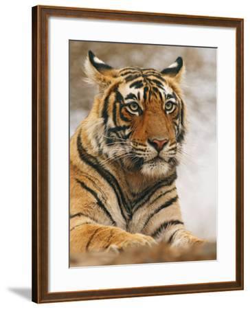 Royal Bengal Tiger Watching, Ranthambhor National Park, India-Jagdeep Rajput-Framed Photographic Print