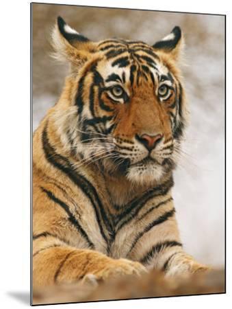 Royal Bengal Tiger Watching, Ranthambhor National Park, India-Jagdeep Rajput-Mounted Photographic Print