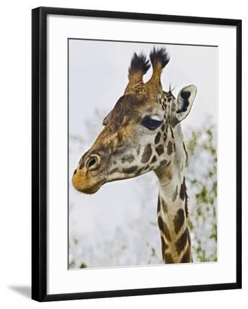 Maasai Giraffe Feeding, Maasai Mara, Kenya-Joe Restuccia III-Framed Photographic Print