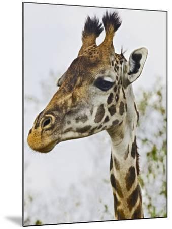 Maasai Giraffe Feeding, Maasai Mara, Kenya-Joe Restuccia III-Mounted Photographic Print