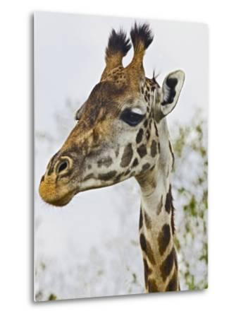 Maasai Giraffe Feeding, Maasai Mara, Kenya-Joe Restuccia III-Metal Print