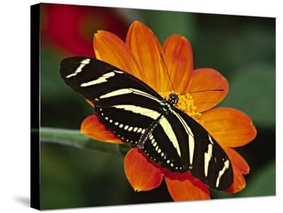 Zebra Longwing Butterfly, Selva Verde, Costa Rica-Charles Sleicher-Stretched Canvas Print