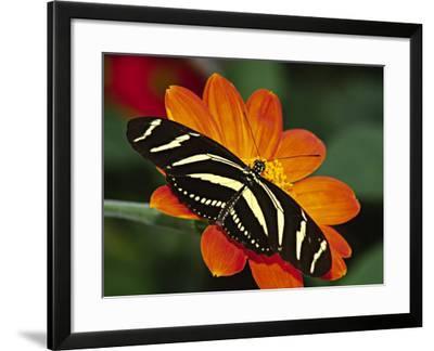 Zebra Longwing Butterfly, Selva Verde, Costa Rica-Charles Sleicher-Framed Photographic Print
