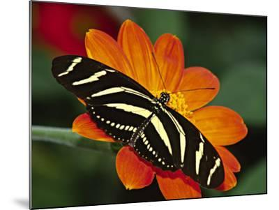 Zebra Longwing Butterfly, Selva Verde, Costa Rica-Charles Sleicher-Mounted Photographic Print