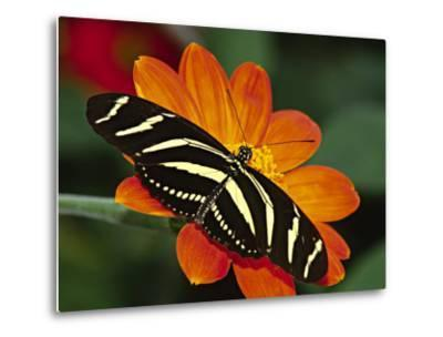 Zebra Longwing Butterfly, Selva Verde, Costa Rica-Charles Sleicher-Metal Print