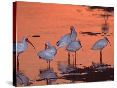 White Ibis, Ding Darling National Wildlife Refuge, Sanibel Island, Florida, USA-Charles Sleicher-Stretched Canvas Print