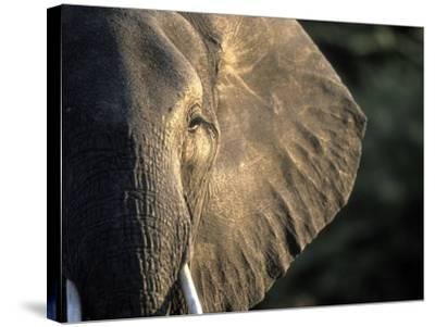 Close-Up of Young Bull Elephant, Xakanaxa, Moremi Game Reserve, Botswana-Paul Souders-Stretched Canvas Print