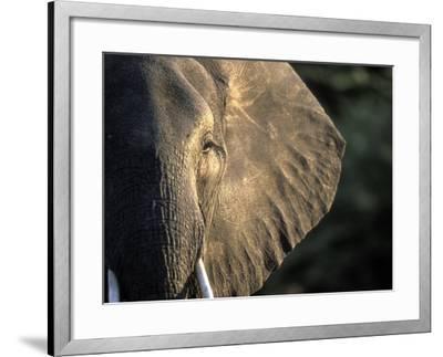Close-Up of Young Bull Elephant, Xakanaxa, Moremi Game Reserve, Botswana-Paul Souders-Framed Photographic Print