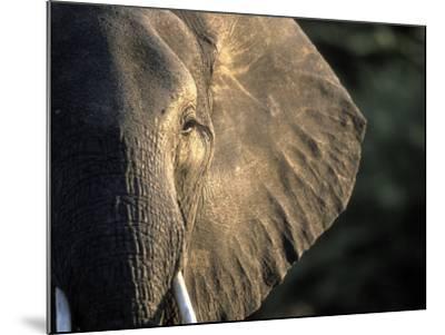 Close-Up of Young Bull Elephant, Xakanaxa, Moremi Game Reserve, Botswana-Paul Souders-Mounted Photographic Print