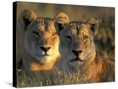 Lionesses, Savuti Marsh, Chobe National Park, Botswana-Paul Souders-Stretched Canvas Print