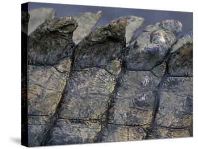 Nile Crocodile, Masai Mara Game Reserve, Kenya-Paul Souders-Stretched Canvas Print