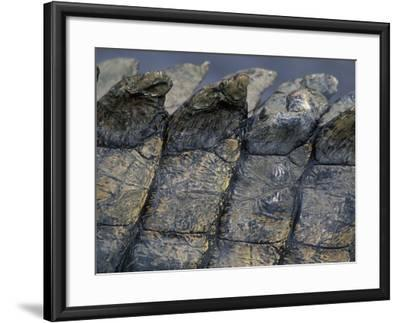 Nile Crocodile, Masai Mara Game Reserve, Kenya-Paul Souders-Framed Photographic Print
