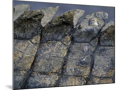 Nile Crocodile, Masai Mara Game Reserve, Kenya-Paul Souders-Mounted Photographic Print