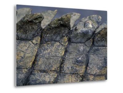 Nile Crocodile, Masai Mara Game Reserve, Kenya-Paul Souders-Metal Print