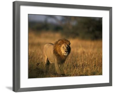 Lion, Savuti Marsh, Chobe National Park, Botswana-Paul Souders-Framed Photographic Print