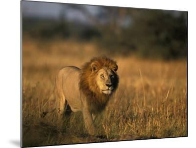 Lion, Savuti Marsh, Chobe National Park, Botswana-Paul Souders-Mounted Photographic Print
