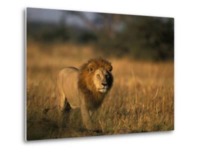 Lion, Savuti Marsh, Chobe National Park, Botswana-Paul Souders-Metal Print