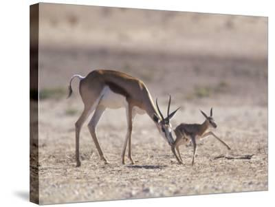 Springbok Mother Helps Newborn, Kalahari Gemsbok National Park, South Africa-Paul Souders-Stretched Canvas Print