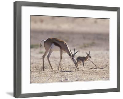 Springbok Mother Helps Newborn, Kalahari Gemsbok National Park, South Africa-Paul Souders-Framed Photographic Print