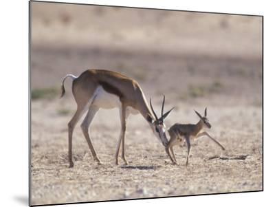 Springbok Mother Helps Newborn, Kalahari Gemsbok National Park, South Africa-Paul Souders-Mounted Photographic Print