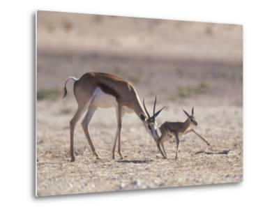 Springbok Mother Helps Newborn, Kalahari Gemsbok National Park, South Africa-Paul Souders-Metal Print