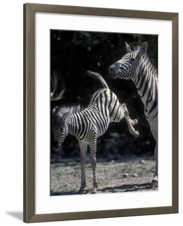 Plains Zebra Kicks, Etosha National Park, Namibia-Paul Souders-Framed Photographic Print